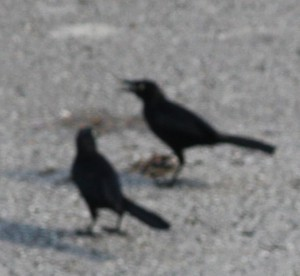 Blackbirds in Barbados