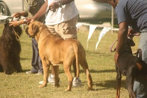 dogs at a dog show in Barbados