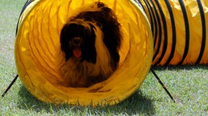 Tibetan Terrier doing agility obstacle