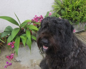Young Bouvier Des Flandres enjoying and doing well in training