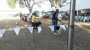Working Group dogs at a championship show in Barbados