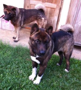 Japanese Akita puppies mother and brother
