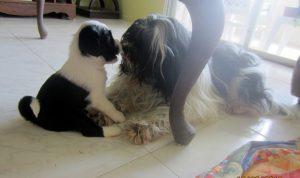 """4.5 weeks Tibetan Terrier puppy """"Jolene"""" with her mother"""