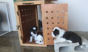First litter of pedigree Tibetan Terrier puppies in Barbados