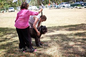 Bouvier Des Flandres at a dog show in Barbados