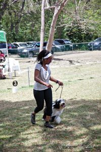 Tibetan Terrier in the show ring in Barbados