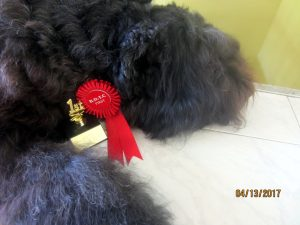 Bouvier des Flandres doing well in obedience trials