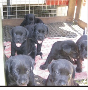 Labrador Retriever puppies for sale - Dogs In Barbados