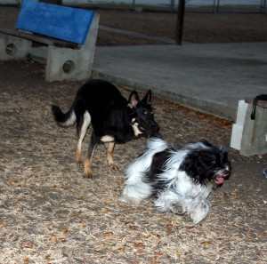 Tibetan Terrier playing with one of her dog friends in Barbados