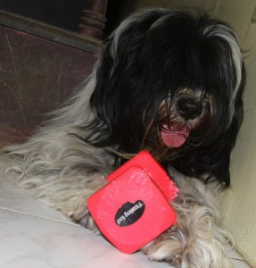 Tibetan Terrier and dumb  bell