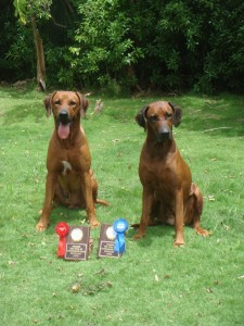 Rhodesian Ridgebacks posing with their obedience trophies
