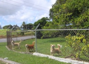 Rescued dogs in Barbados