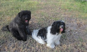 Bouvier Des Flandres puppy and Tibetan Terrier