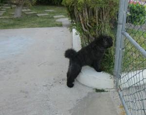 Bouvier puppy in garden