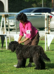 Chepam Valentina going Best Puppy in Show in Barbados, October, 2014
