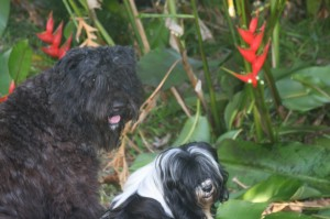 Dogs in Barbados with red heliconias in Barbados at Xmas time
