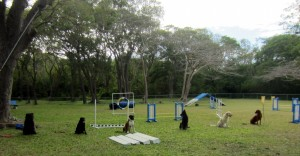 Dogs doing obedience in Barbados