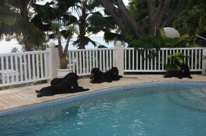 Bouvier Des Flandres by pool