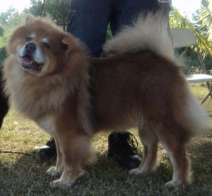 A Chow Chow at a dog show