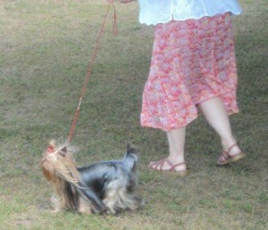 Yorkshire Terrier at a dog show