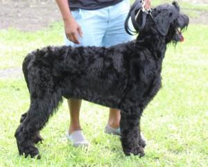 Russian Black Terrier