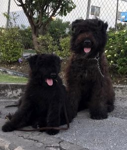 mother and daughter Bouvier Des Flandres