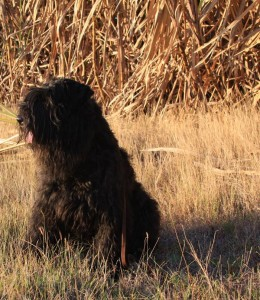 Bouvier des flandres by cane field