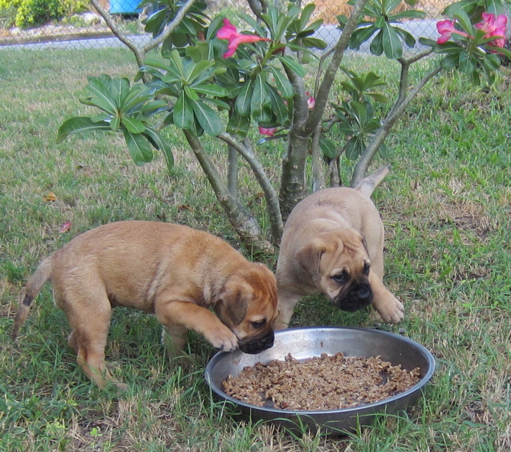 Bullmastiff Puppies for Sale - Dogs In Barbados