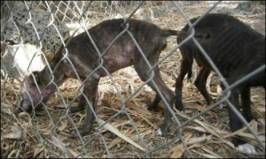 barbados-dog-abuse-2a