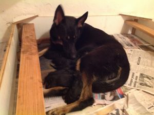 German Shepherd puppies for sale