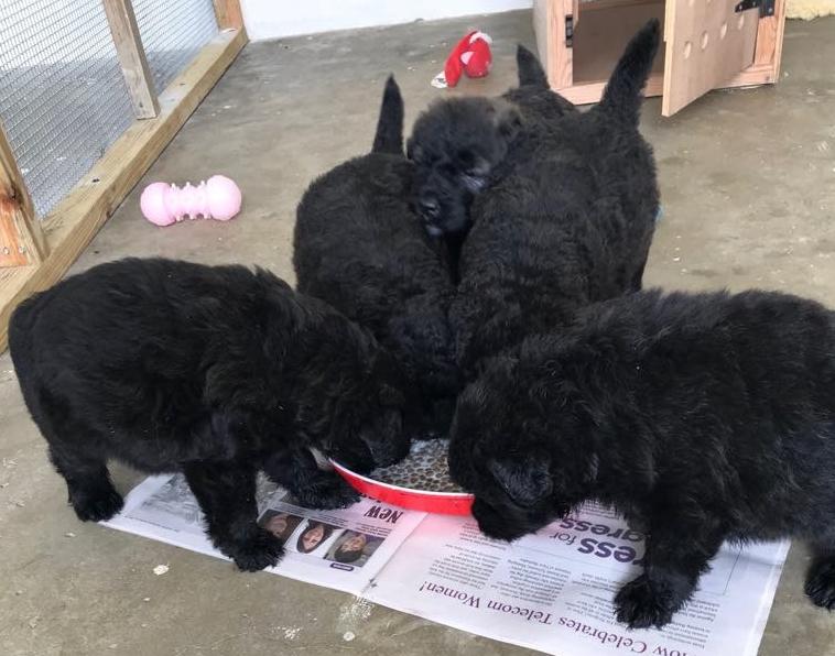Bouvier Des Flandres Puppies Born In Barbados April 2018 Dogs In